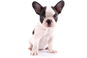 Poster Bouledogue français French bulldog puppy portrait over white background