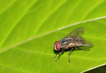True macro fly portrait