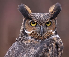 A close-up of a Great Horned Owl (Bubo virginianus) looking back at something.