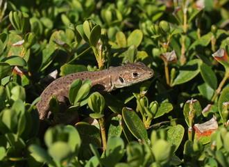 European Green Lizard, juvenile, Lacerta viridis