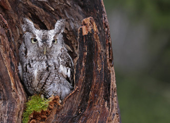 Fotoväggar - Screech Owl Looking from Stump