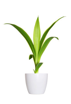 young sprout of Yucca a potted plant isolated over white
