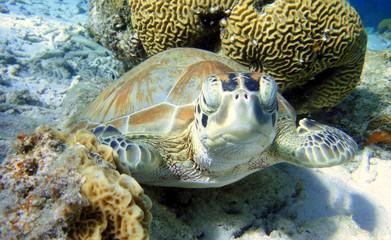 curious Green Sea Turtle