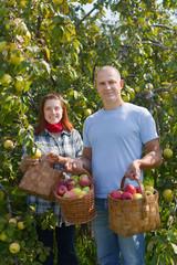 Man and woman picks apples