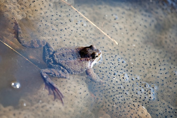 frog with frogspawn