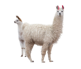 Photo sur Plexiglas Lama Female llama with a baby