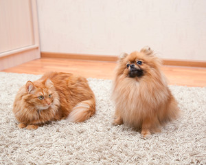 Pomeranian dog and red cat sitting on the carpet