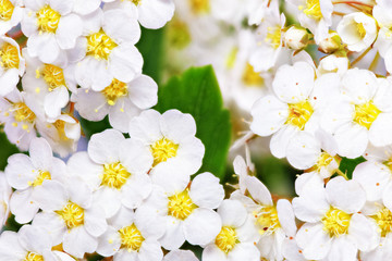 Foto auf AluDibond Makro Beautiful white flowering shrub Spirea aguta (Brides wreath).