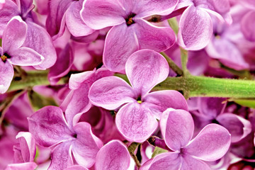 Foto op Aluminium Macro Beautiful Bunch of Lilac close-up