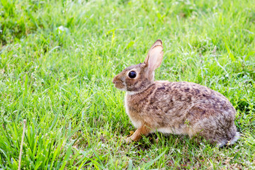 Wild eastern cottontail rabbit, Sylvilagus floridanus, in field