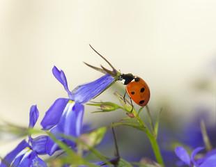 Ladybug on garden lobelia