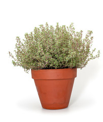 thyme in clay pot