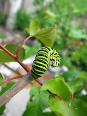 Caterpillar of the butterfly  machaon on the stick