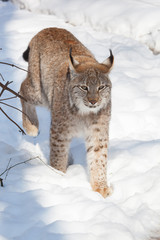 Papiers peints Lynx lynx in snow