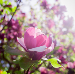Blossoming magnolia tree flowers in garden