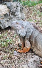 iguana reptile on the ground