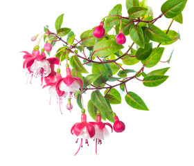blossoming branch of a fuchsia  Alwin