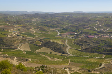 Vineyard on harvesting time