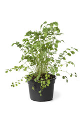 Pot with Small burnet plant