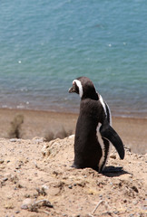 Magellanic penguin on the Patagonian coast. Argentina.