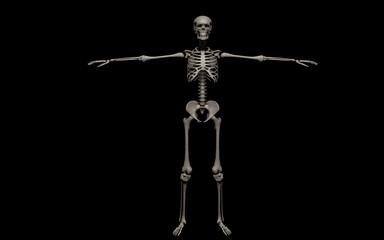 Human Body, Full Bone