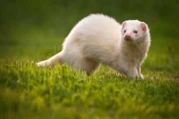 Wall Mural - white ferret
