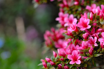 Poster Azalea Azalea blooming pink and purple spring flowers. Gardening