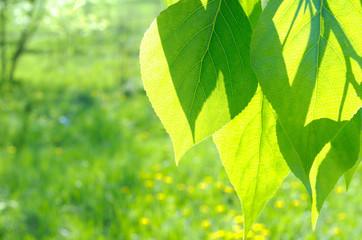 Green poplar leaves on defocused background