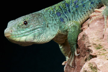 Ocellated lizard / Timon lepidus