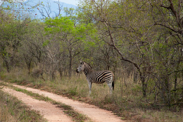 Wild striped zebra  in national Kruger Park in South Africa