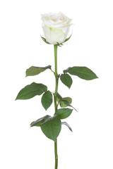 Single white rose.
