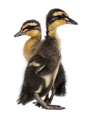 ducklings ( indian runner duck) isolated on a white background