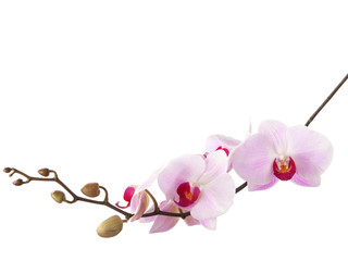 Tuinposter Orchidee light pink orchid isolated on white