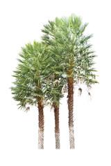 Date palm (Phoenix dactylifera), tropical tree