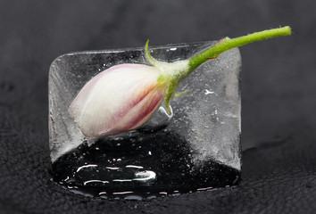 Flower in ice on black background