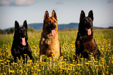 Wall Mural - Three German Shepherds