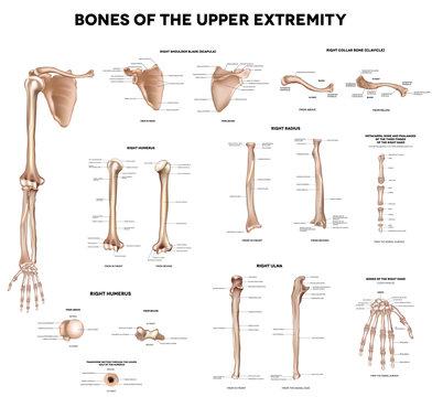 Bones of the upper extremity