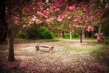 Printed kitchen splashbacks Garden Tranquil garden bench surrounded by cherry blossom trees