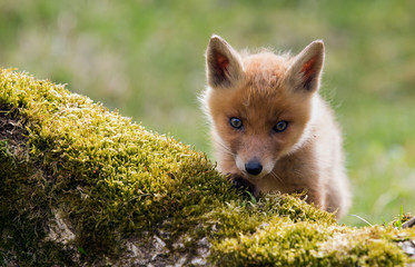 Red Fox Cub exploring the new world
