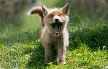 Red fox Cub yawning