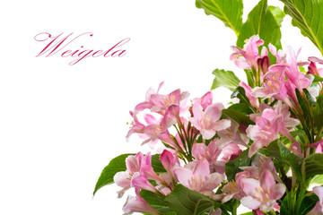 Weigel beautiful blooming flowers