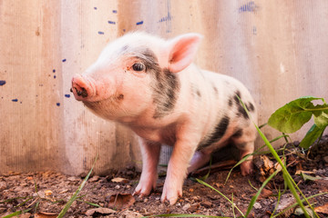 Close-up of a cute muddy piglet running around outdoors on the f