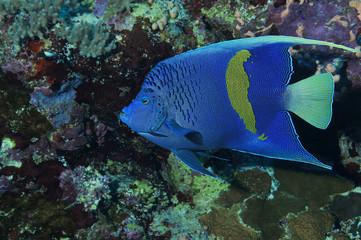 Pomacanthus maculosus, yellowbar Angelfish