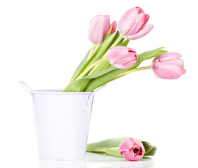 Pink tulips on white background in a bucket