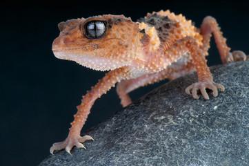 Wall Mural - Knob tailed gecko / Nephrurus wheeleri