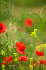 Wall Mural - Field of Corn Poppy Flowers Papaver rhoeas in Spring