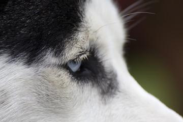 Side  face of a husky dog showing one blue eye