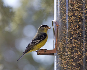 An American Goldfinch bird sitting on a backyard feeder