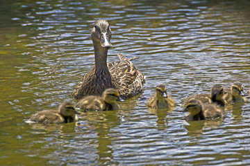 Mother ducks swims with babies and a protective look