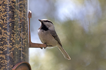 A mountain chickadee bird sitting on a backyard feeder